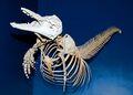 Atlantic Bottlenose Dolphin Skeleton.jpg